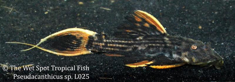 PseudacanthicusspL025