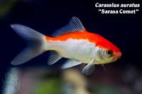 Wet Spot Tropical Fish | Goldfish and Koi