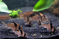 Corydoras brevirostris - Black Caped Cory
