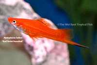 Red Velvet Swordtail - Xiphophorus helleri