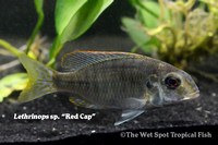 "Lethrinops sp. ""Red Cap"""