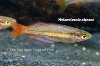 Dark Australian Rainbowfish - Melanotaenia nigrans