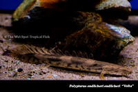 Volta Red Bichir - Polypterus endlicheri endlicheri Volta