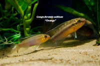 Congochromis sabinae Orange