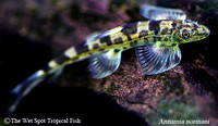 Hillstream Loaches
