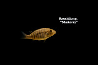 "Danakilia sp. ""Shukoray"""