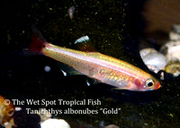 Gold White Cloud - Tanichthys albonubes gold