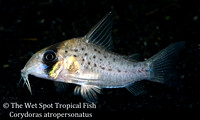 Corydoras atropersonatus - Fairy Cory