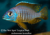 "Aulonocara korneliae ""Blue and Gold"""