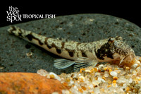 Moose Face Loach - Canthophrys gongota