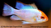 Mikrogeophagus ramirezi - Electric Blue Ram