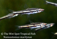 Green Striped Pencilfish - Nannostomus marylinae