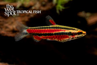 Purple Pencilfish - Nannostomus rubrocaudatus