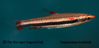 Beckford's Pencilfish - Nannostomus beckfordi