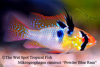 Mikrogeophagus ramirezi - Powder Blue Ram