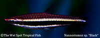 Black Pencilfish - Nannostomus sp.