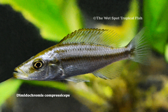 Dimidochromis compressiceps