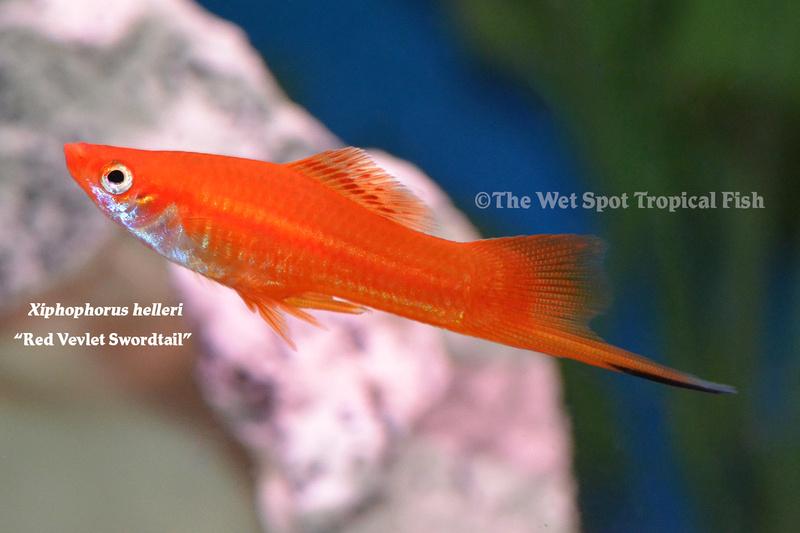 Wet spot tropical fish swordtails for Is a fish wet
