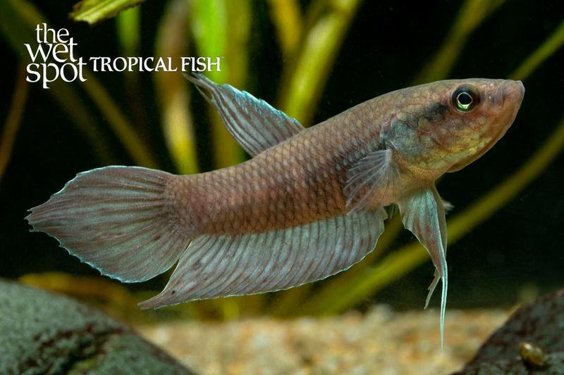 Wet spot tropical fish bettas blue firefly betta for The wet spot tropical fish