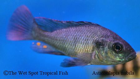 Wet spot tropical fish other astatotilapia nubila for The wet spot tropical fish