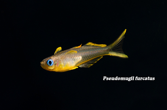Forktail Blue Eye Rainbowfish - Pseudomugil furcatus
