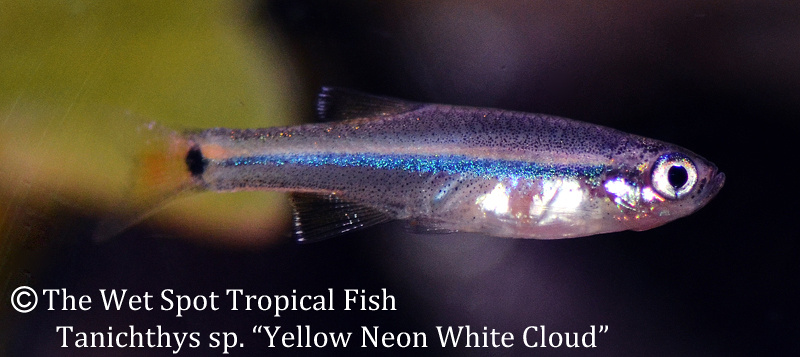 Wet spot tropical fish white clouds for The wet spot tropical fish