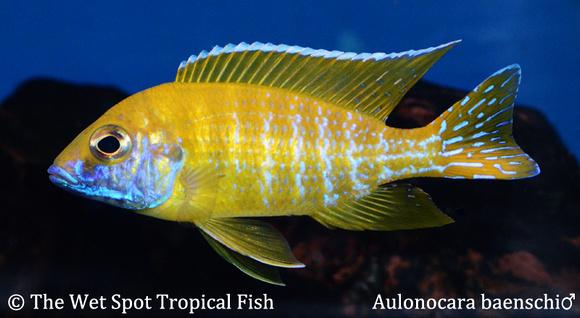 Wet spot tropical fish aulonocara aulonocara baenschi for The wet spot tropical fish