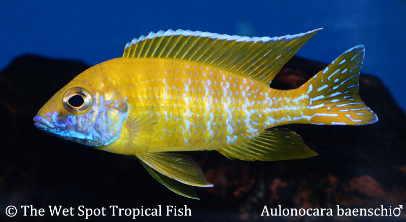 Wet spot tropical fish aulonocara for The wet spot tropical fish