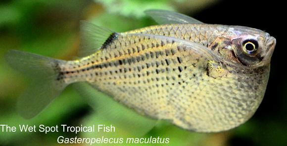 Gasteropelecusmaculatus1