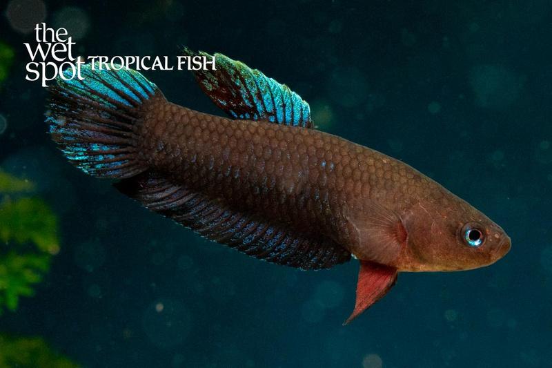 Wet spot tropical fish bettas batman betta betta for The wet spot tropical fish