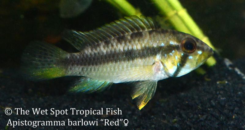 Wet spot tropical fish apistogramma for The wet spot tropical fish