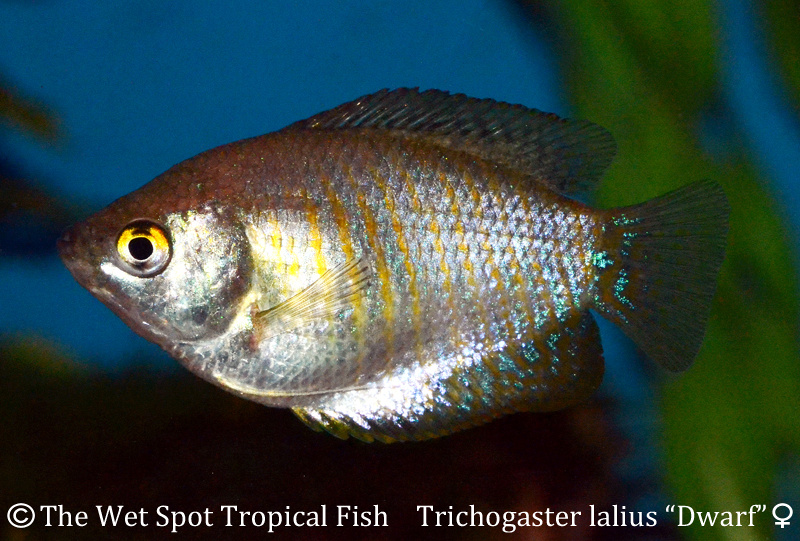 Wet spot tropical fish gouramis for Is a fish wet