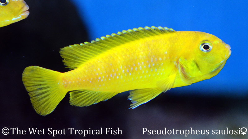 Wet spot tropical fish pseudotropheus for The wet spot tropical fish