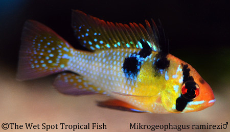 Wet spot tropical fish mikrogeophagus for The wet spot tropical fish