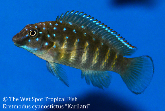 Wet spot tropical fish other eretmodus cyanostictus for The wet spot tropical fish