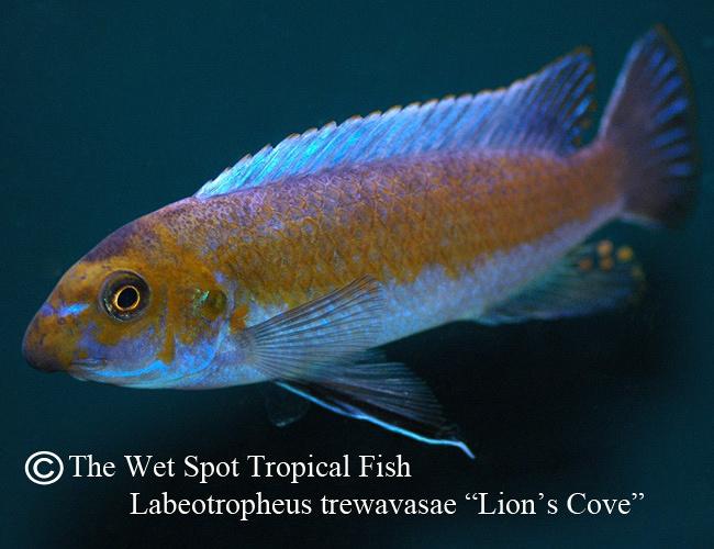 Wet spot tropical fish labeotropheus labeotropheus for The wet spot tropical fish