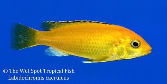 Wet spot tropical fish labidochromis labidochromis for The wet spot tropical fish
