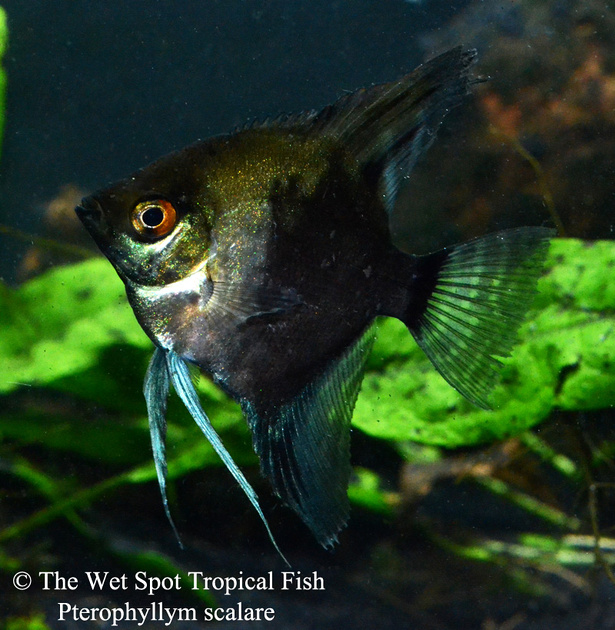Wet spot tropical fish angelfish for Is a fish wet