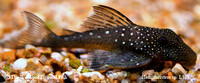 "Hemiancistrus sp. ""Blue Phantom Pleco"" L128"