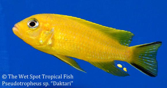 Wet spot tropical fish pseudotropheus pseudotropheus for The wet spot tropical fish