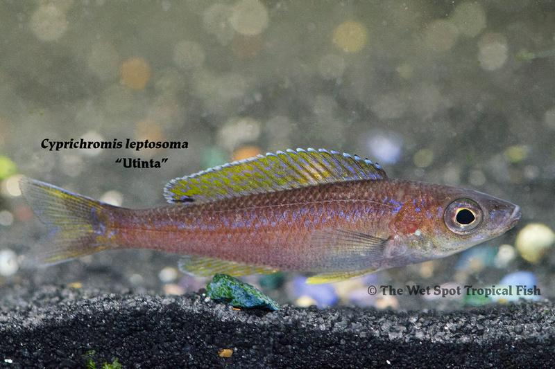 WS Cyprichromis leptosoma utinta