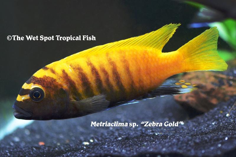 Metriaclima Zebra Gold
