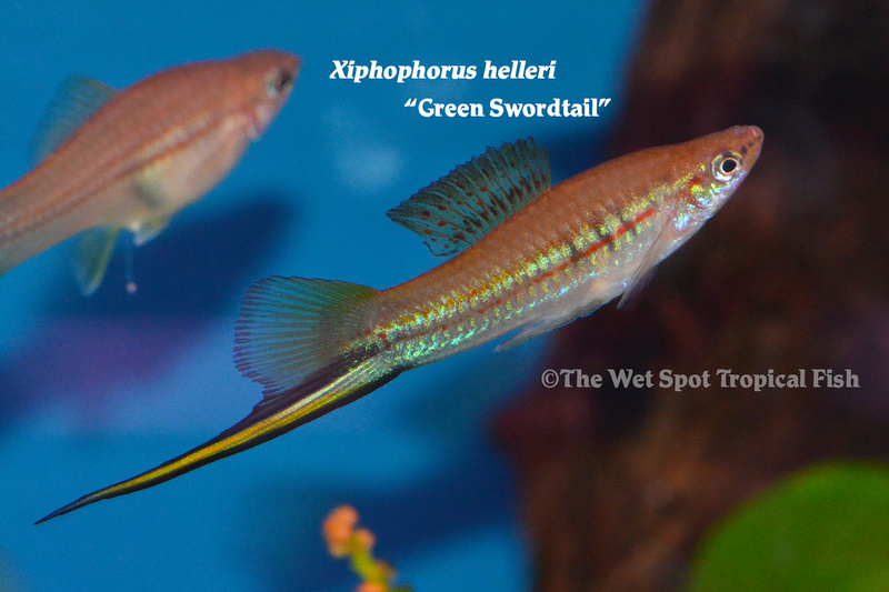 WSGreenSwordtail