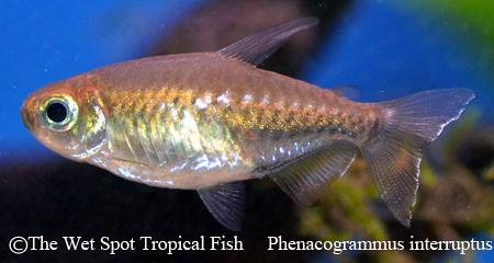 Phenacogrammus interruptus male