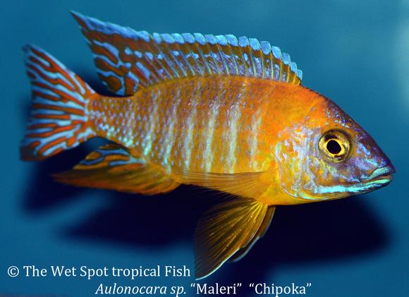 Wet spot tropical fish aulonocara aulonocara sp maleri for The wet spot tropical fish