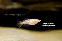 Red Sky Killifish - Oryzias latipes