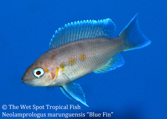 Wet spot tropical fish neolamprologus neolamprologus for Blue fin fish
