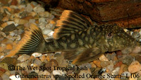 "Hemiancistrus guahiborum ""Orange Seam Pleco"" L106"