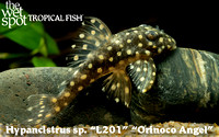 "Hypancistrus sp.  ""Orinoco Angel Pleco"" L201"