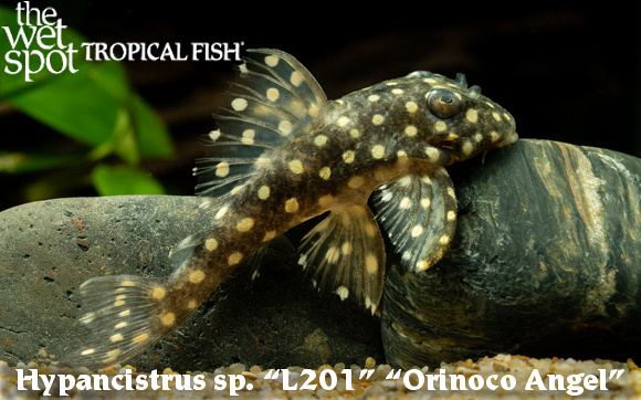 Hypancistrus sp. L201